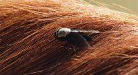 Les méfaits des insectes sur les chevaux - Partie II
