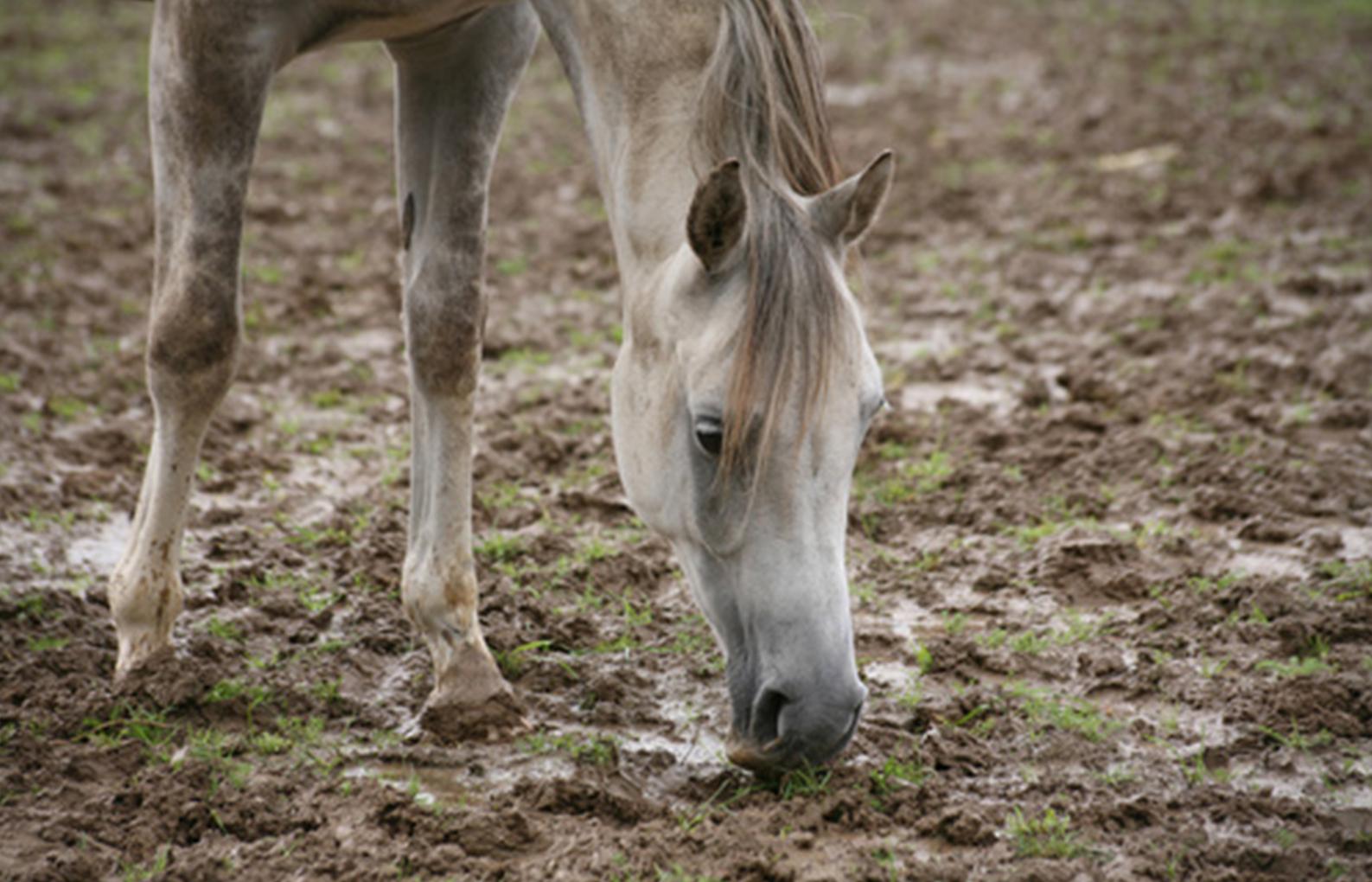 cheval dans la boue - dermatophilose